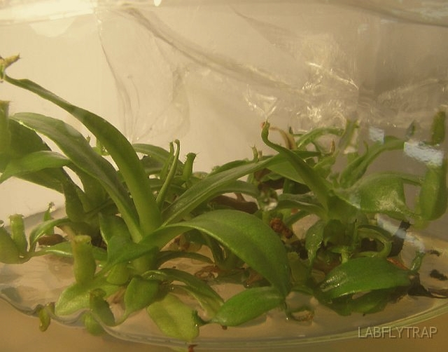 Carnivorous plant Nepenthes insignis In vitro