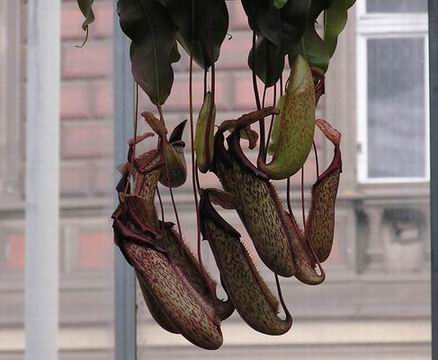 Nepenthes